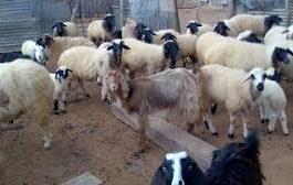 حملة تحصين بيطري بابين ضد امراض الطاعون والجذري تستهدف 144 الف رأس من الاغنام والماعز