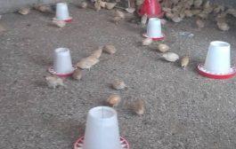 في تجربة استثمارية جديدة..طيور السمان تنافس الدجاج لأول مرة في عدن
