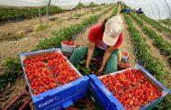 كورونا يحول دون العاملات المغربيات وحقول الفراولة الإسبانية