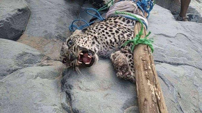 وزارة المياه والبيئة تحذر من اصطياد النمر العربي المهدد بالانقراض